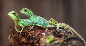 Lizard families together Stock Image