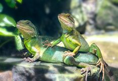 Lizard families together with the couple in the tree. Is looking to the future so cute when watching them in zoo Stock Image