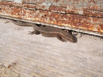 Lizard. royalty free stock photography