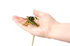 Lizard in a female hand, isolated. Green and yellow lizard in a female hand, isolated on white Stock Photos