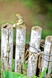 Lizard on fence. Lizard on bamboo near Phnom Penh- Cambodia Royalty Free Stock Images