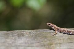 Lizard on a fence Royalty Free Stock Image