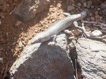 Lizard Fernando de Noronha Brazil Stock Photography