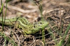 Lizard in the field royalty free stock photography