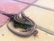 Lizard fight Royalty Free Stock Photos