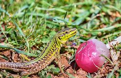 Lizard with lollipop royalty free stock images
