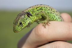 Lizard on a finger. Lizard sitting on a mans finger Royalty Free Stock Image