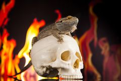 Fire lizard, agama on black mirror background. Lizard, Fire agama on black mirror background royalty free stock photography