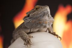 Fire lizard, agama on black mirror background. Lizard, Fire agama on black mirror background stock photography