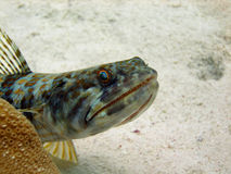 Lizard Fish. A large Lizard Fish raises its spines and bares its teeth to warn off the approaching diver.  These fish often sit motionless on the sand or Stock Photography