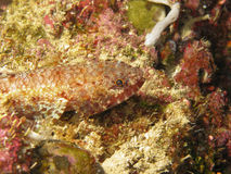 Lizard Fish. Resting on coral Stock Images