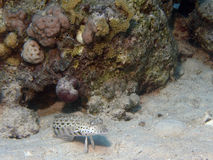 Lizard fish. In the red sea Stock Photography