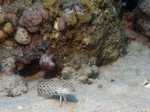 Lizard fish Stock Photography