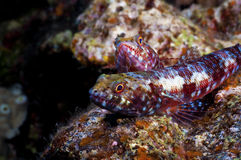 Lizard Fish. Two lizard fish resting together on a coral head Stock Photos