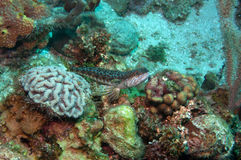 Lizard fish with coral reef. Nice lizard fish on a nice coral reef background Stock Image