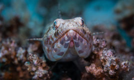 Lizard fish on corals. Lizard fish setting on the corals Stock Photo