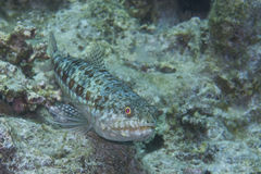 Lizard Fish off Balicasag Island, Panglao, Bohol, Philippines. These Lizard Fishes and ambush predators who rest on the bottom to pounce on a prey like a lizard Stock Image