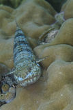Lizard Fish off Balicasag Island, Philippines. These Lizard Fishes and ambush predators who rest on the bottom to pounce on a prey like a lizard. Their red eyes Stock Photos