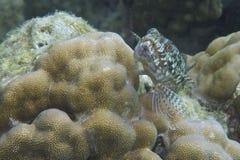 Lizard Fish off Balicasag Island, Philippines Royalty Free Stock Photos
