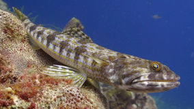 Lizard Fish. With shiny eyes in the Caribbean Sea of Curacao Royalty Free Stock Image