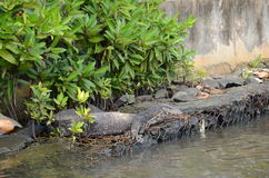 Lizard. Floating in the tropical river Stock Photos