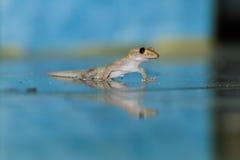 Lizard on floor Stock Photo