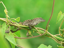 Lizard - florida anole. Florida anole balancing on a vine stock photography