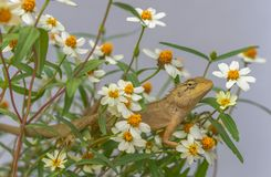 Lizard in the flower garden. A cute lizard in the flowers waiting to catch some bugs for his lunch royalty free stock photo
