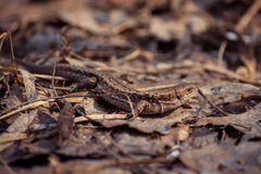 Lizard in foliage. Close-up shot in a forest Royalty Free Stock Photography