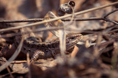 Lizard in foliage. Close-up shot in a forest Stock Images