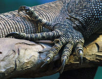 Lizard Foot. Close up detail of monitor lizard toes stock photography