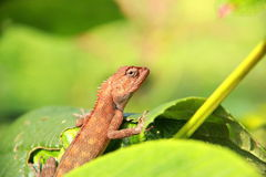 Lizard in Forest. Royalty Free Stock Images