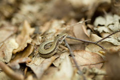 Lizard in forest Stock Images