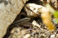 Lizard in forest Stock Image