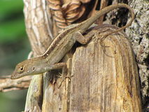 Lizard. Found this lizard on a post in my yard like the way he has his tail curled Royalty Free Stock Photography