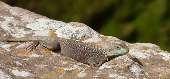 Lizard in front of church in Africa Stock Photo