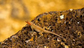 Lizard in  the Galapagos Royalty Free Stock Photography