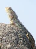 Lizard in Galle Fort / Sri Lanka Royalty Free Stock Photos