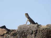 Lizard in Galle Fort / Sri Lanka Royalty Free Stock Photography