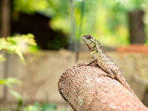 Lizard, galliwasp or chameleon on timber tree which is camouflage to survive in nature Royalty Free Stock Photo