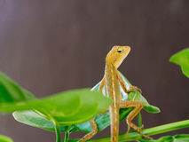 Lizard, galliwasp or chameleon is on tree which is camouflage to survive in nature Stock Photography