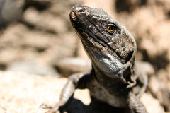 Lizard Gallotia galloti Stock Photo