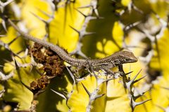 Lizard Gallotia galloti. Lizard on Lanzarote between on a cactus royalty free stock photos