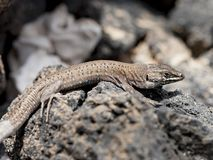 Lizard Gallotia galloti. Lizard on Lanzarote between lava stones royalty free stock images