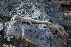 Lizard Gallotia galloti. Lizard on Lanzarote between lava stones royalty free stock photography