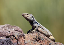 Lizard, Gallotia Galloti, Tenerife, Canary Islands Stock Photo