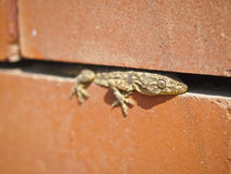 Lizard in gap Royalty Free Stock Image