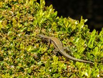 Lizard on the Garden Bushes at Alhambra Palace in Granada, Spain. stock photography