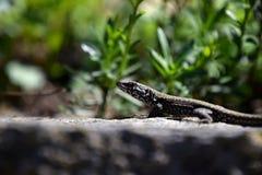 Lizard in garden close-up. A little wild lizard in garden stock photography