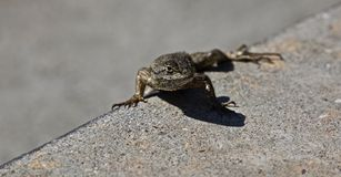 Lizard gecko Stock Photography